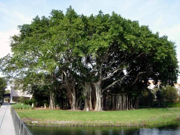 Баньян (бенгальский фикус) - дерево лес