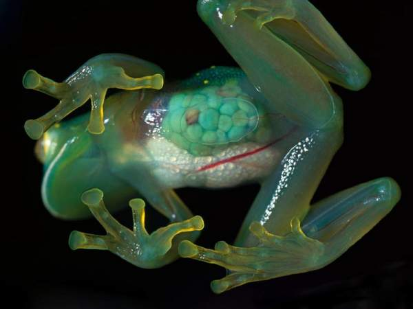 Centrolenidae, прозрачная лягушка, стеклянная лягушка, glass frog