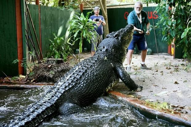 Кассиус Клей - самый большой крокодил в мире
