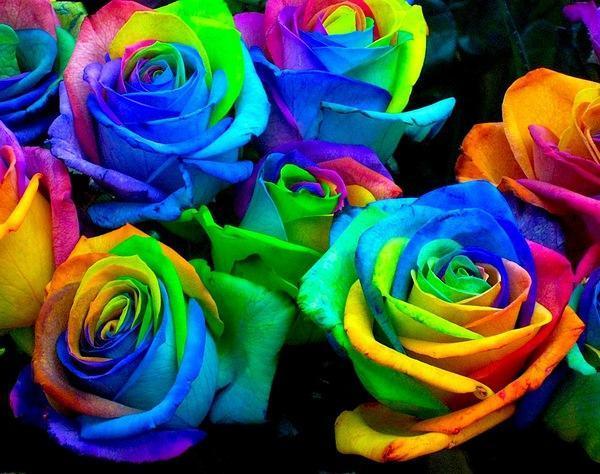 Радужные розы, выращивание радужных роз